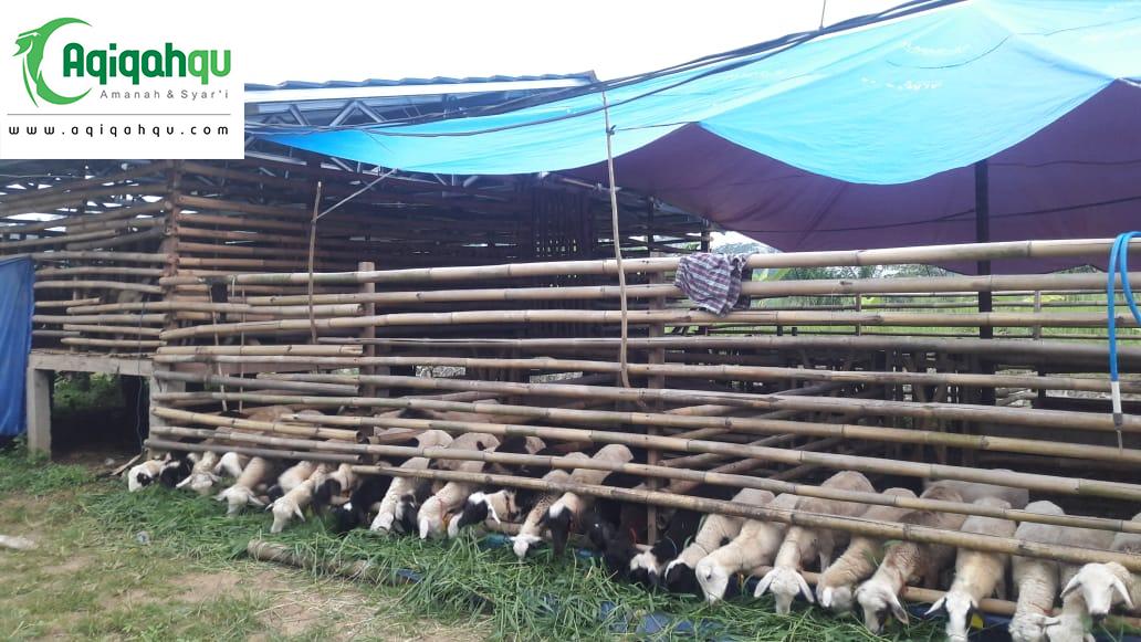 kambing sesuai syarat