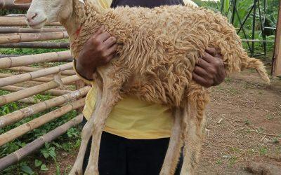 domba asli kandang aqiqahqu