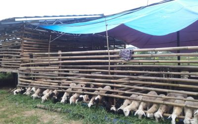 kandang kambing/domba aqiqah