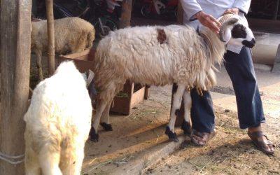 domba aqiqahqu mata hitam