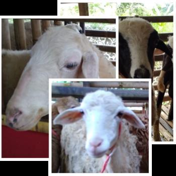 domba dan kambing aqiqah